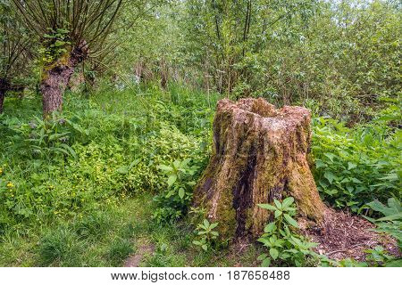 Rotten trunk in the woods contrastingly surrounded by fresh green young plants. It's spring now.