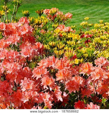 Bushes blooming rhododendron against the green lawn