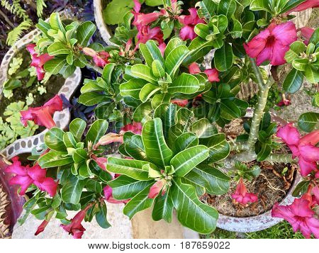 Fresh Tropical Pink Adenium Obesum or Desert Rose Flowers Blooming on The Green Tree with Terracotta Pot.