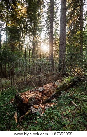 Sunbeam penetrates through the woods in mountain.