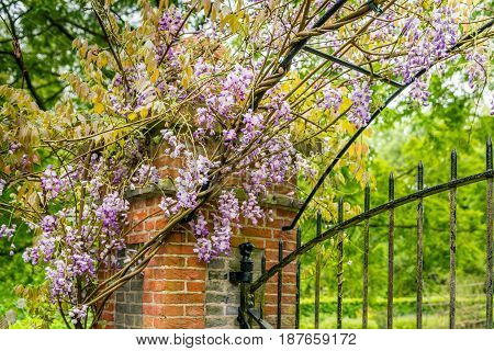 Chinese wisteria growing over a brick pillar and an old wrought iron fence in the Netherlands. It is springtime now.