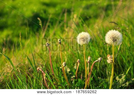 Two dandelions isolated on green spring background.