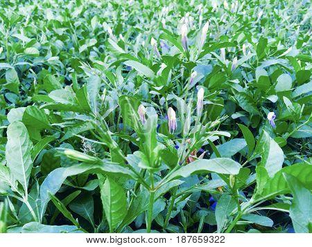 Fresh Purple Ruellia Tuberosa Minnieroot Fever Root Snapdragon Root or Sheep Potato Plants in Garden.