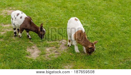 Two light and dark brown spotted baby goats graze in the fresh green grass of the meadow. It is springtime now.