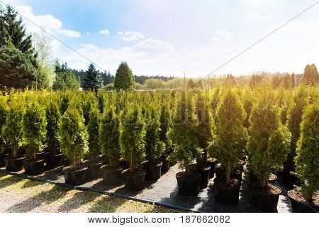 thuja trees at plant nursery on sunny day