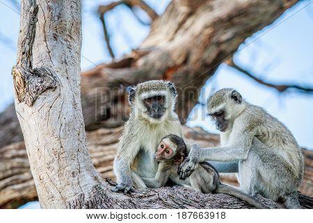 Vervet Monkey Family Sitting In A Tree.