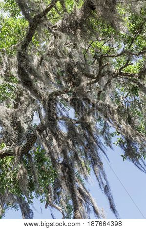 Spanish Moss Draping Over Oak Limbs under blue sky