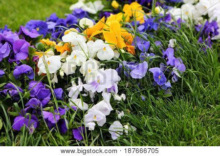 Bright multicolored pansies in the green grass in May in the garden