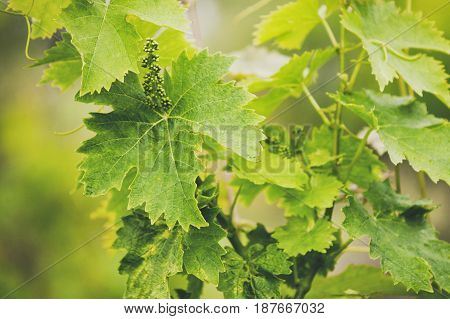 Grape Trees Leafs. Unripe Berries.
