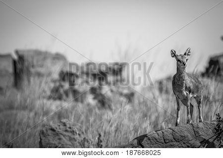 Klipspringer Standing On A Rock.