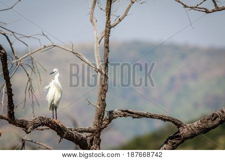 Little Egret Sitting In A Tree.