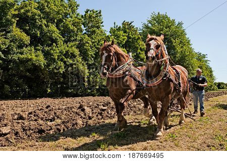 BASTIA, RAVENNA, ITALY - MAY 10: draft horses pulling the plow recalling the old farm work during the festival