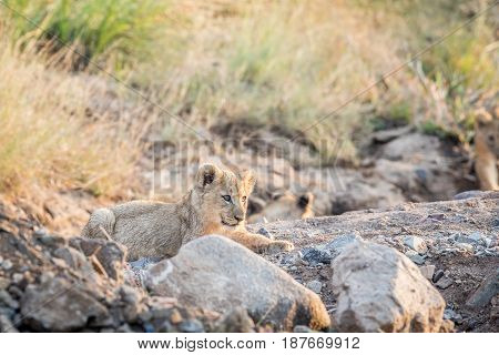 Lion Cub Laying In A Rocky Riverbed.