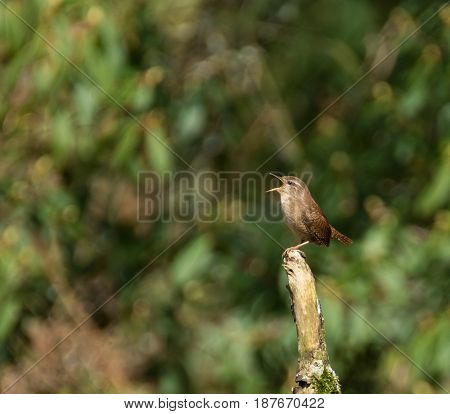 A wren perching on a branch as it sings in the mid day sun. The background is blurred and there is space for text in the frame.