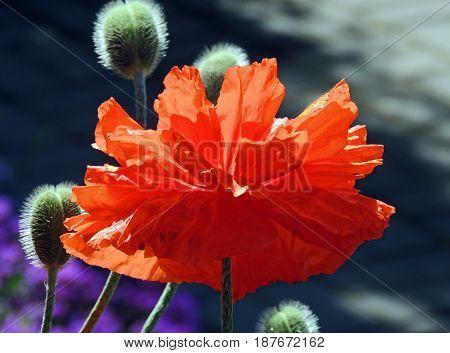 A flower of scarlet poppy in sunlight. Red petals fluffy green buds sunny morning
