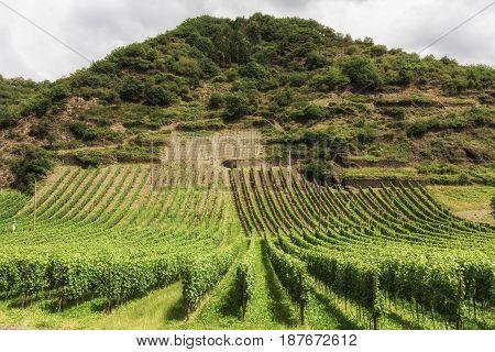 Vineyard in Southwest Germany Rhineland in Summer