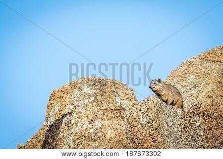 Rock Hyrax Basking In The Sun.