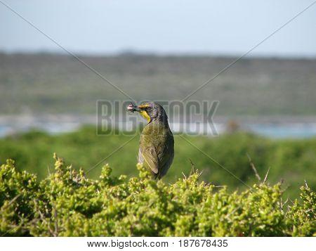 YELLOW AND GREY BIRD, EATING A GRASS HOPPER 22frr