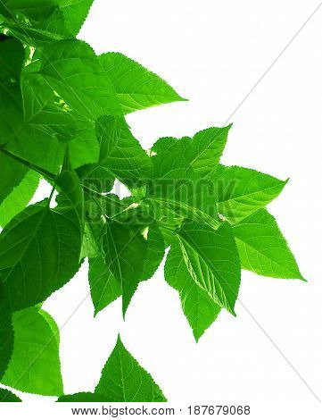 Fresh Big Mulberry Leaves Againt on White Background Used to Make Tea and Ingredient for A Delicious and Healthy Meal.