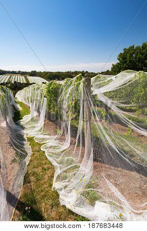 Vines of wine grapes under netting towards end of season in the Mornington Peninsula, Victoria, Australia
