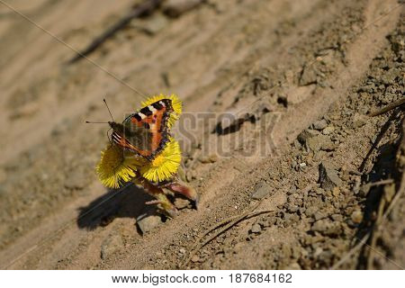 Colorful butterfly on yellow coltsfoot. Sunny spring day.