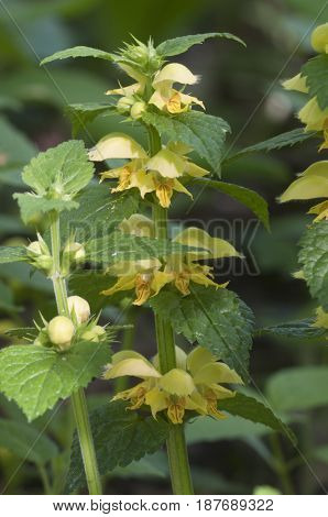 Yellow archangel plant flowers close up shot