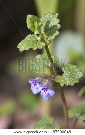 Glechoma hederacea flowers close up shot local focus
