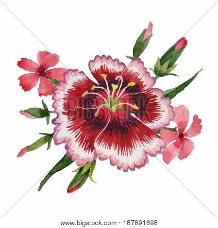Wildflower carnation flower in a watercolor style isolated. Full name of the plant: carnation garden. Aquarelle wild flower for background, texture, wrapper pattern, frame or border.