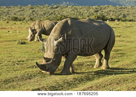Two white rhinos walking and grazing green grass in the late afternoon sunshine