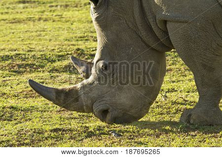 close up view of a white rhino and its large horn while grazing in the afternoon sun