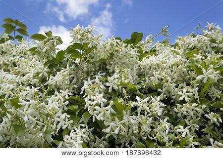 The White Jasmine Flower