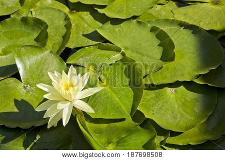 Large lily pads with a beautiful yellow flower in bright afternoon sun