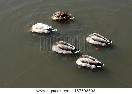 five ducks feeding upside down on a lake