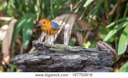 Bird (orange-headed Thrush) In A Wild