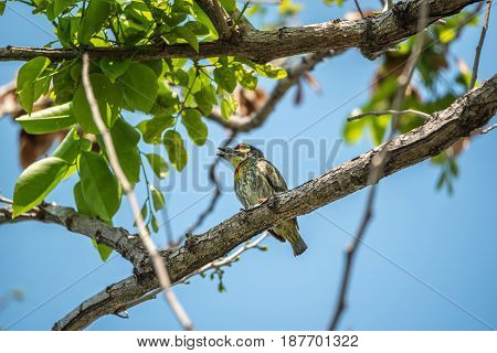 Bird (coppersmith Barbet) In A Wild