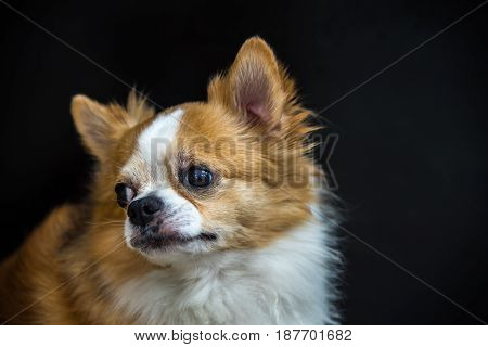 Dog so cute chihuahua breed brown and white color sitting on black background