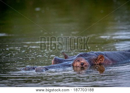 Hippo Head Sticking Out Of The Water.