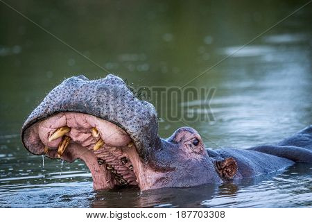 Hippo Yawning In The Water In Kruger.