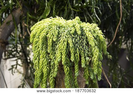 Sedum morganianum (donkey tail or burro's tail) - a species of flowering plant in the family Crassulaceae poster