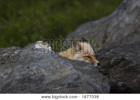 Wild Fox Hiding Behind Rock