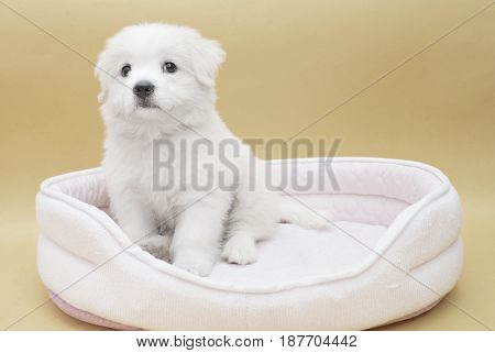 A Maltese puppy on its sleeping basket with orange basket