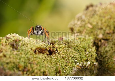 Closeup Jumping spider known as Philaeus chrysops on moss green near water. Selective focus
