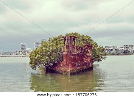 Mangrove trees growing on the shipwreck of the steam collier SS Ayrfield at Homebush bay, Sydney, Australia. Used to carry supplies to Pacific allies in WWII.