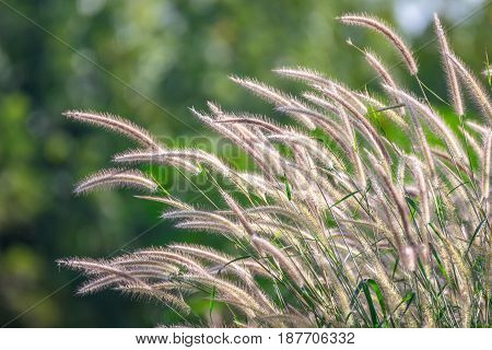 Nature Of Grass Field And Flower Of Grass