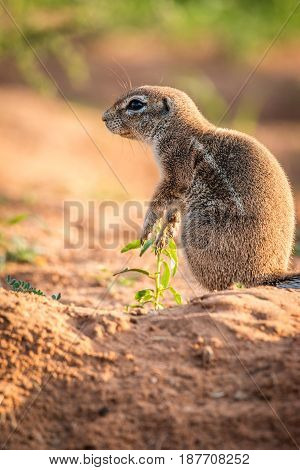 Side Profile Of A Ground Squirrel.