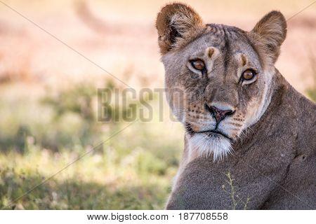 Lioness Looking Back In The Kgalagadi.