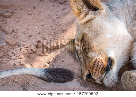 Close Up Of Sleeping Lioness In The Sand.