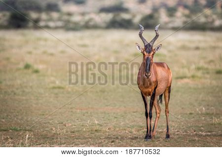 Red Hartebeest Standing In The Grass And Starring.