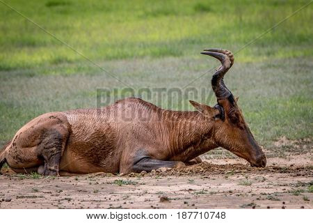 Red Hartebeest Rubbing It Self In The Mud.