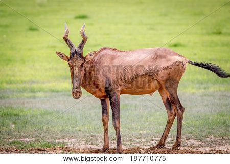 Red Hartebeest Standing In The Mud.